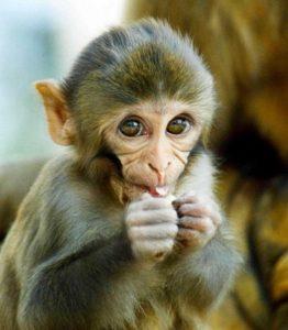 обезьянка резус