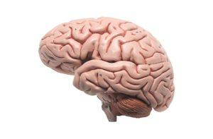 Головной мозг картинка