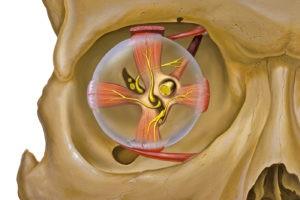 Глазодвигательные мышцы