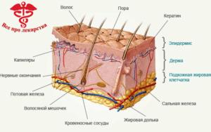 анатомия кожи