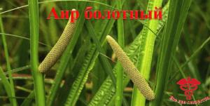 Аир болотный фото