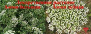 Растения Амми большая и Амми зубная