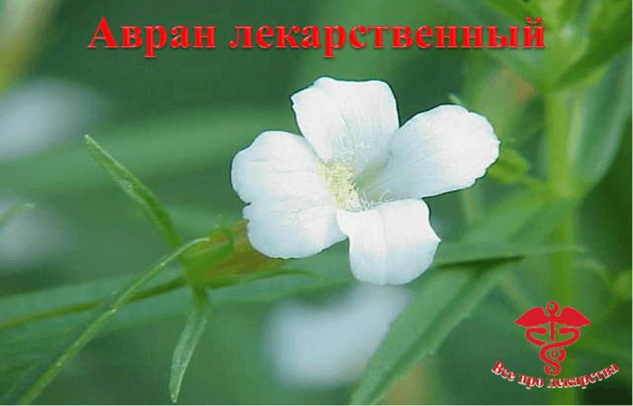Цветок аврана лекарственного