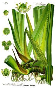 Аир обыкновенный. Ботаническая иллюстрация из книги О. В. Томе Flora von Deutschland,