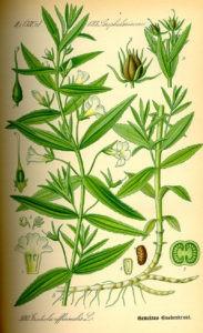 Авран лекарственный ботаническая иллюстрация