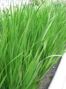 Молодые растения Аира болотного