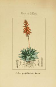 Алоэ древовидное ботанический рисунок