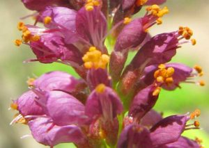 Цветки Аморфы кустарниковой