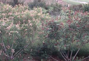 Аморфа кустарниковая общий вид цветущего растения