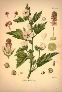 Алтей лекарственный ботанический рисунок