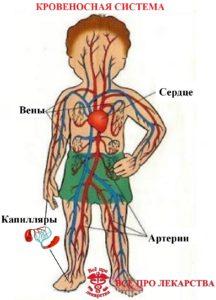 строение сердечно-сосудистой системы человека